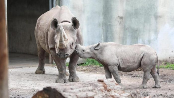 Grab your paintbrush and wish Jaali the black rhino a happy first birthday