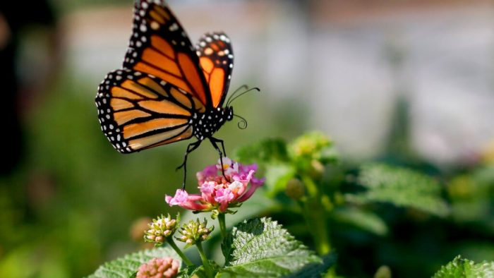 Monarch butterfly gets another shot at being Michigan's state insect