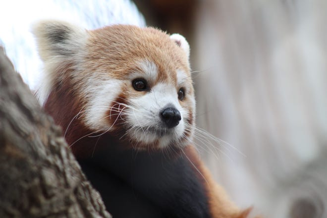 Drop everything, Potter Park Zoo is getting baby red pandas