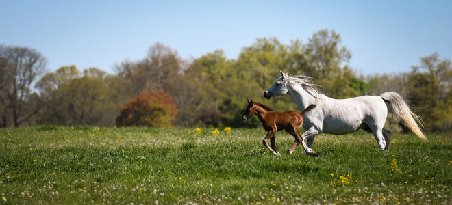 This Arabian horse farm can help tell the history of Michigan State University