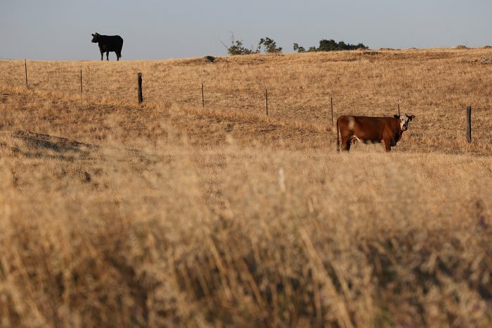 Tennessee won't incentivize Covid shots — but pays to vax cows