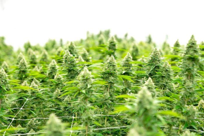 Recreational marijuana market finds unlikely home in Webberville