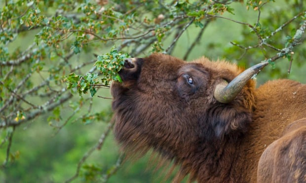 Eat, roam, repeat: Can the bison's big appetite stop Spain's forest fires?